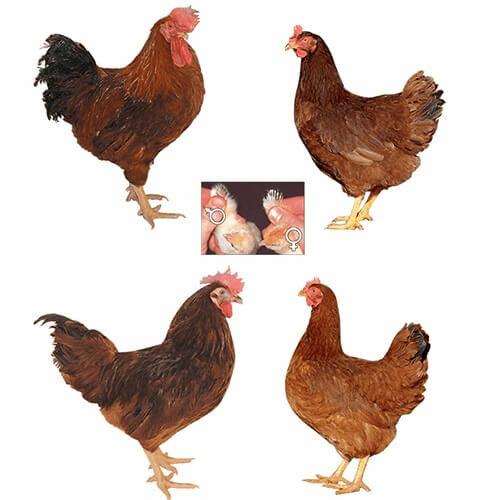 Доминант: чешский петух, характеристика породы кур, описание и виды, содержание и питание