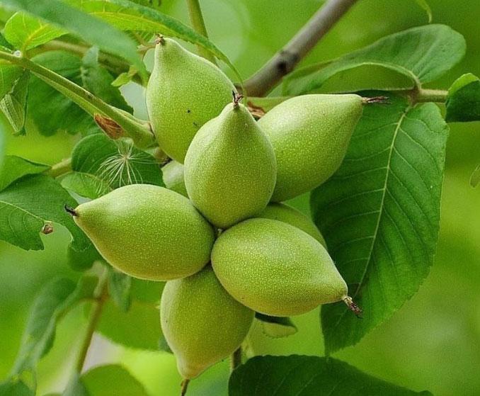 маньчжурский орех википедия