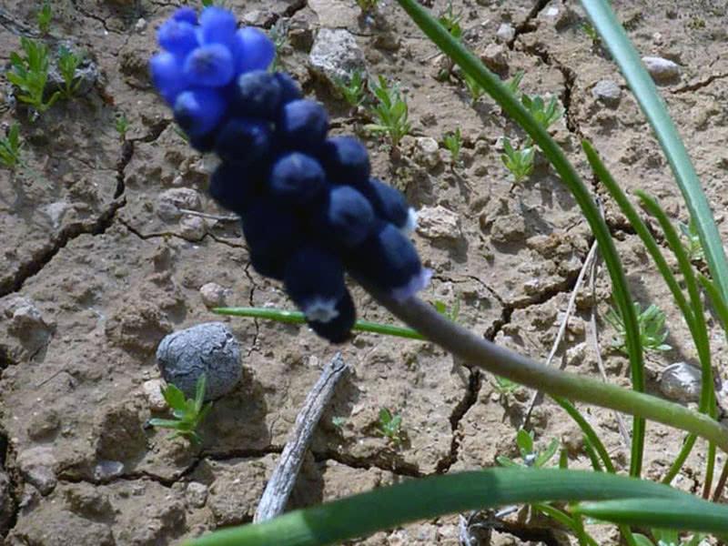 Мускари – посадка и уход, выращивание и сорта
