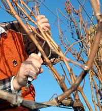 уборка винограда на зиму