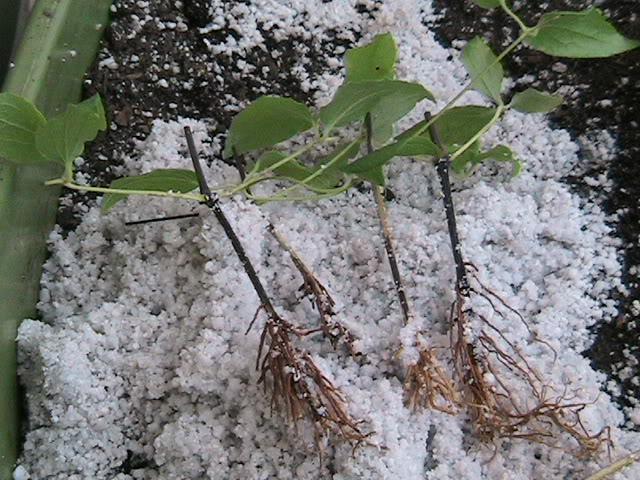 Размножение клематиса черенками: правила черенкования клематисов. как укоренить их весной и осенью в домашних условиях?