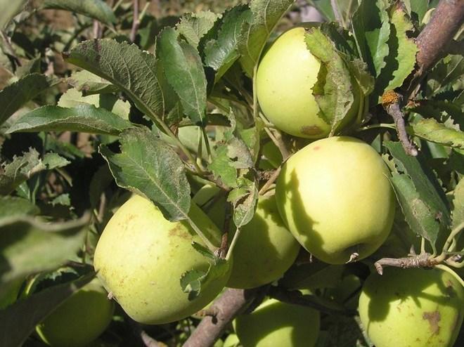 Яблоня ред кетти: отзывы, топ секреты посадки и ухода с фото