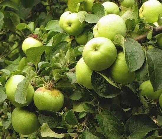 Лучшие сорта яблони для беларуси с описанием, характеристикой и отзывами, а также особенности выращивания в данном регионе