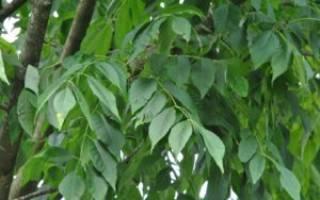 Обыкновенный ясень-дерево: описание (лист), разновидность и характеристика