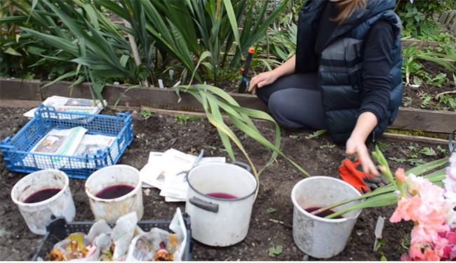 Хранение гладиолусов. когда выкапывать и как хранить? фото — ботаничка.ru
