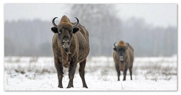 Зубр (bison bonasus): фото, виды, интересные факты