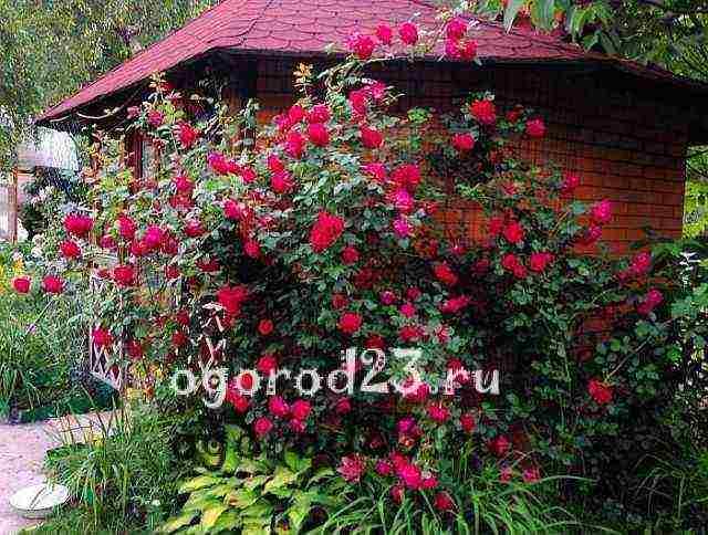 Как размножить плетистую розу: черенкование и другие способы
