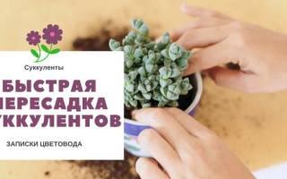 Выращиваем суккуленты – рекомендации по уходу