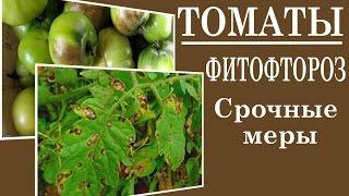 Фитофтороз на помидорах: как бороться с фитофторой на томатах в открытом грунте и в теплицах, самые эффективные средства и практические советы