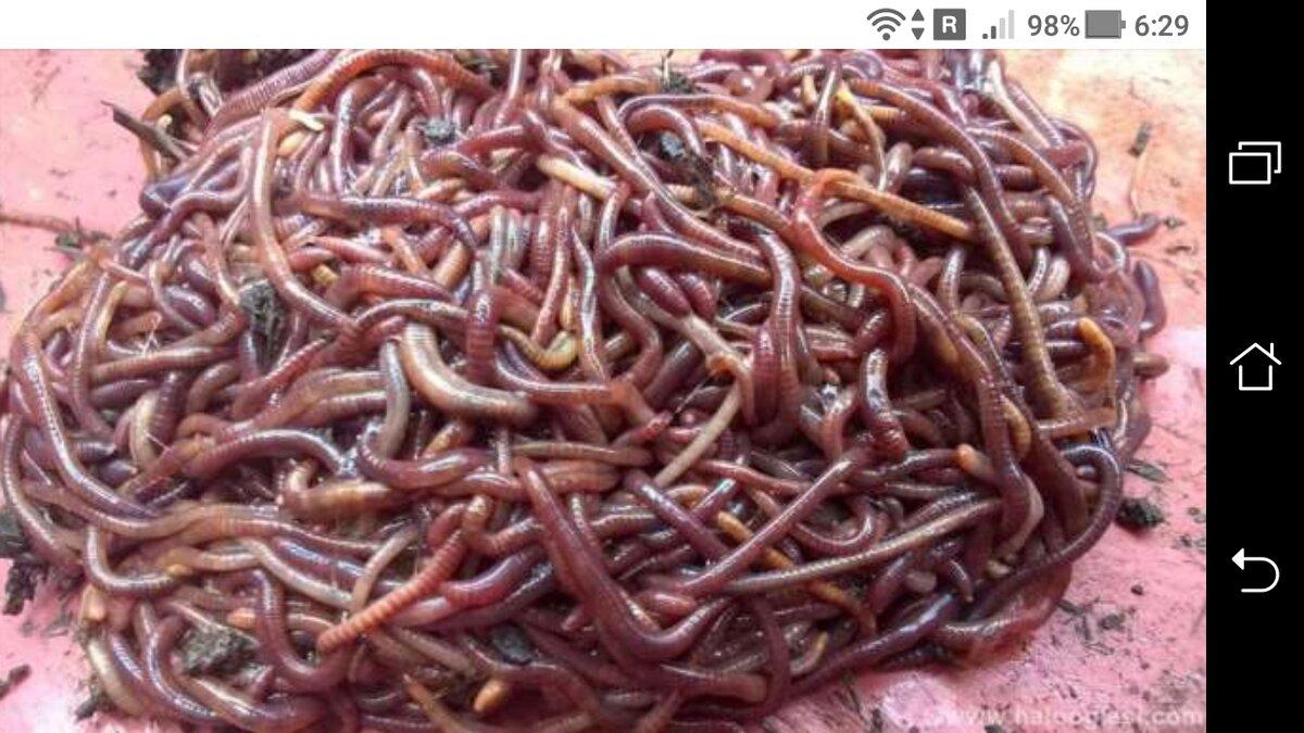 калифорнийские черви купить