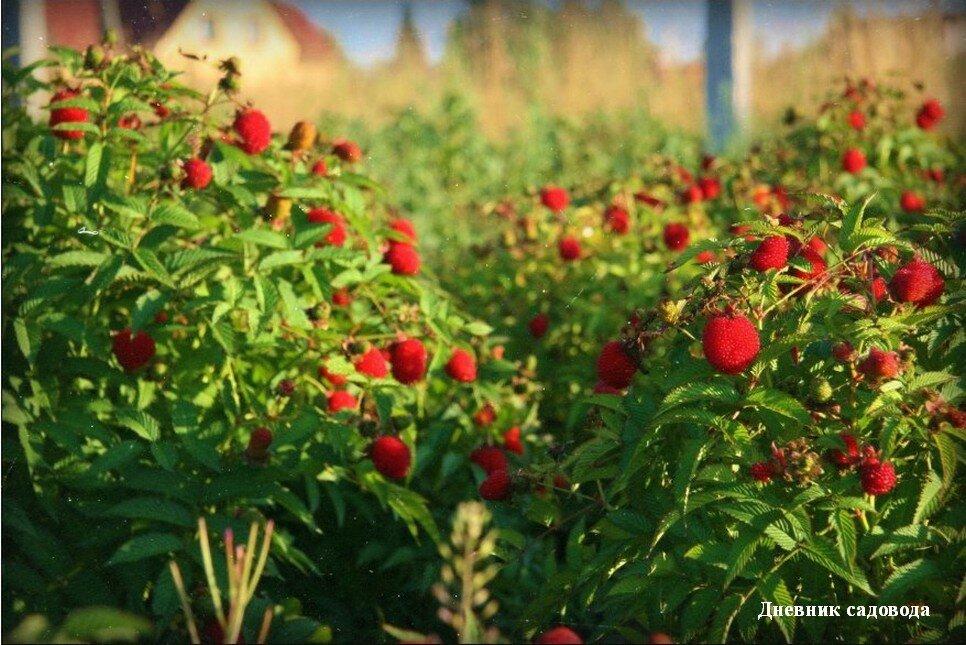 Чем подкормить малину осенью, чтобы был хороший урожай фото видео