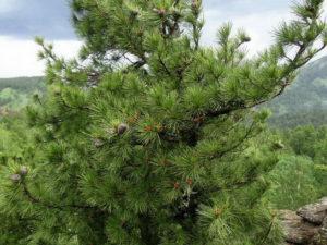 кедр фото дерева с шишками