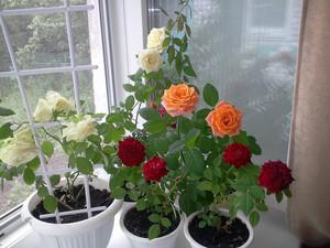 Как размножить плетистую розу — обобщенный взгляд