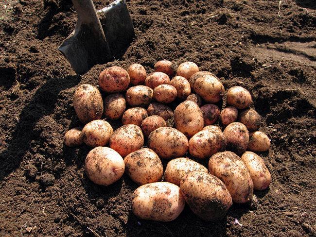 Как сохранить картофель в зимой в подвале (погребе), сорта