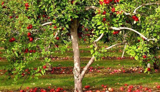 """Чем осенью подкормить яблони? - журнал """"совхозик"""""""