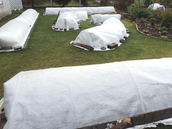 Буддлея (54 фото): описание кустарника, посадка буддлеи давида и уход за ней в открытом грунте, подготовка буддлеи осенью к зиме в подмосковье