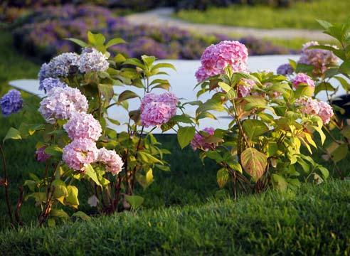Гортензия крупнолистная в саду: выбор, посадка, обрезка