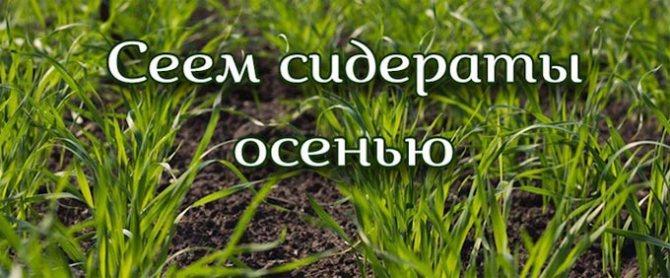Сидераты: как правильно выбрать для посева на грядки
