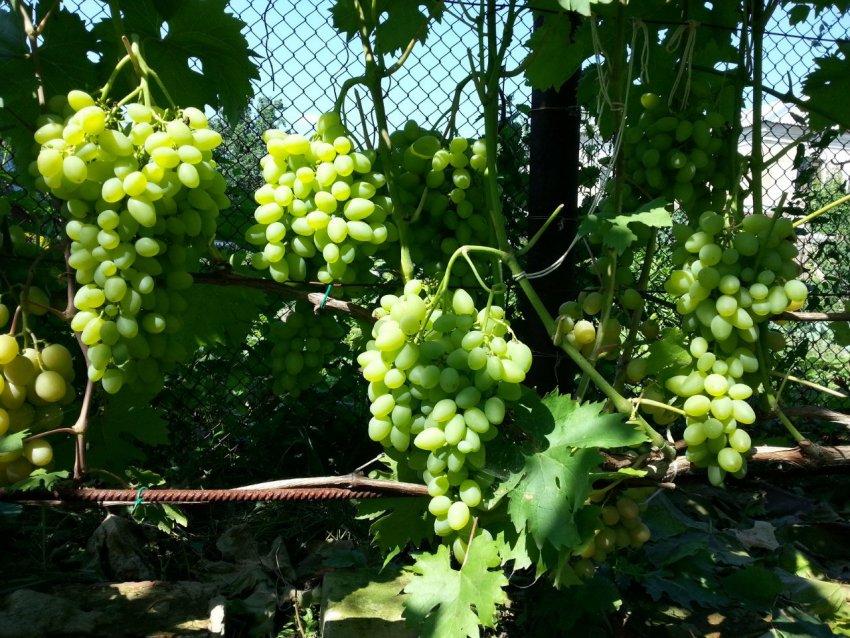 Сорта винограда красохиной с.и: описание, характеристики, история выведения, фото