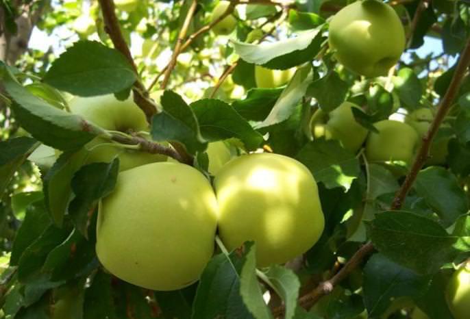 Агротехника зимнего сорта яблони ред делишес