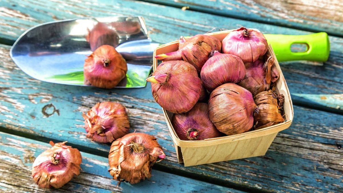 как хранить луковицы гладиолусов зимой в погребе