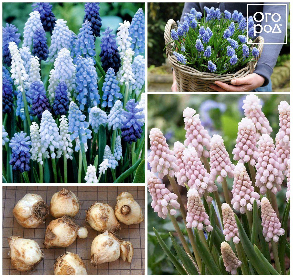 Виды и названия многолетних луковичных цветов