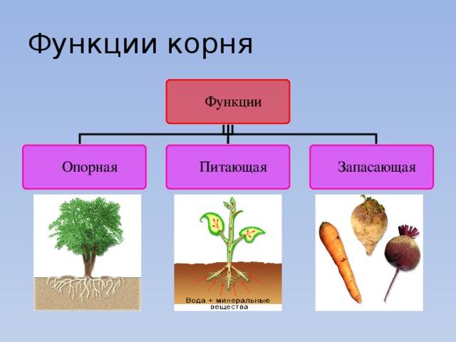 боковые корни развиваются