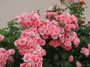 Росы на розах
