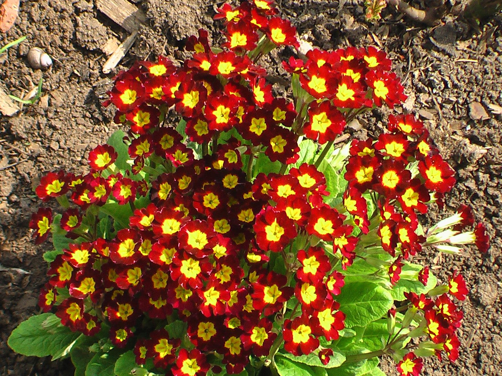 Примулы садовые: виды и сорта, фото. агротехника садовых примул   сажаем сад