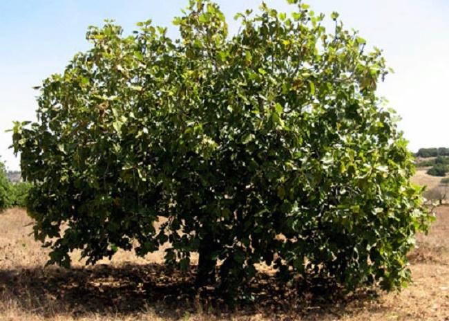Инжир: посадка и уход в открытом грунте, выращивание в крыму, в украине, на кубани, в подмосковье