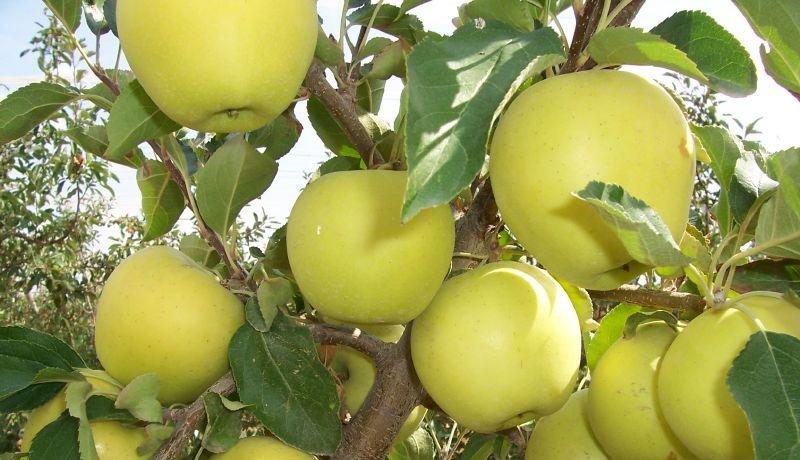 яблоко ред