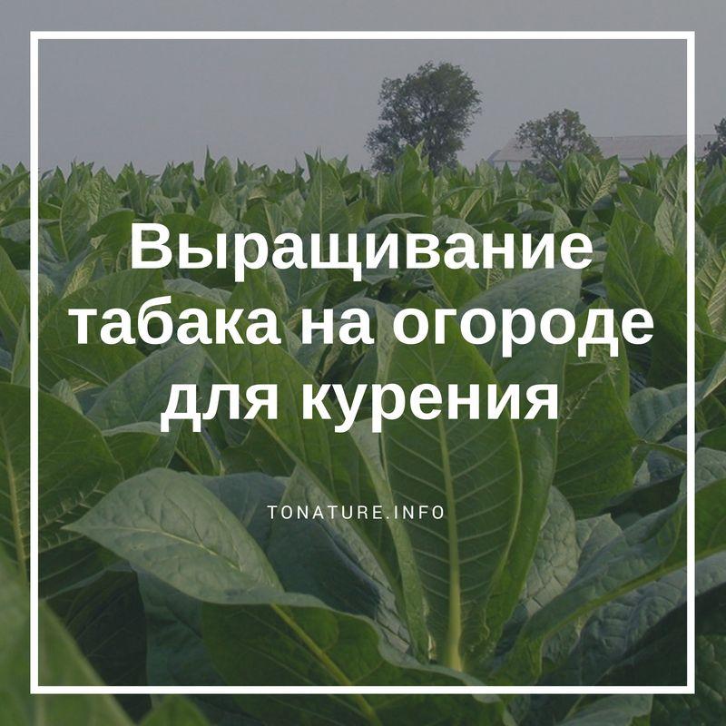 Посадка табака в открытый грунт — подготовка почвы, удобрения, сроки