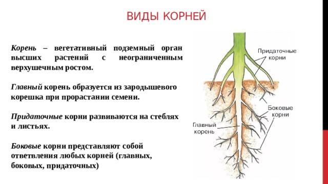 продольный срез корня