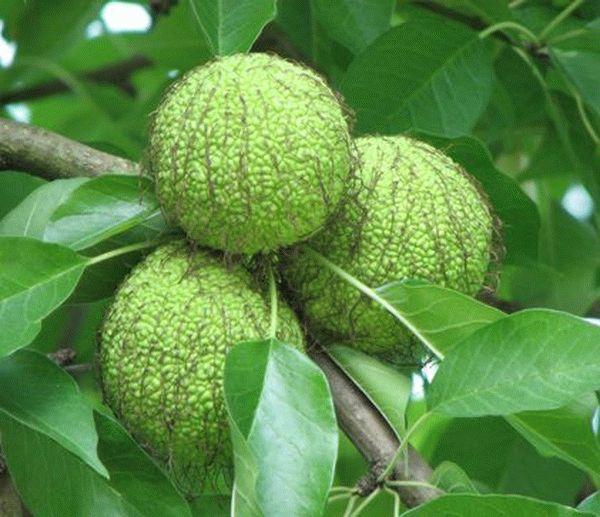 Настойка из адамова яблока - рецепт приготовления лечебного средства для суставов с отзывами