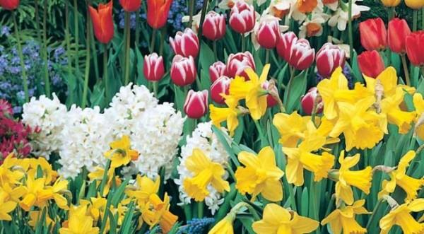 Луковичные декоративные растения | во саду и в огороде