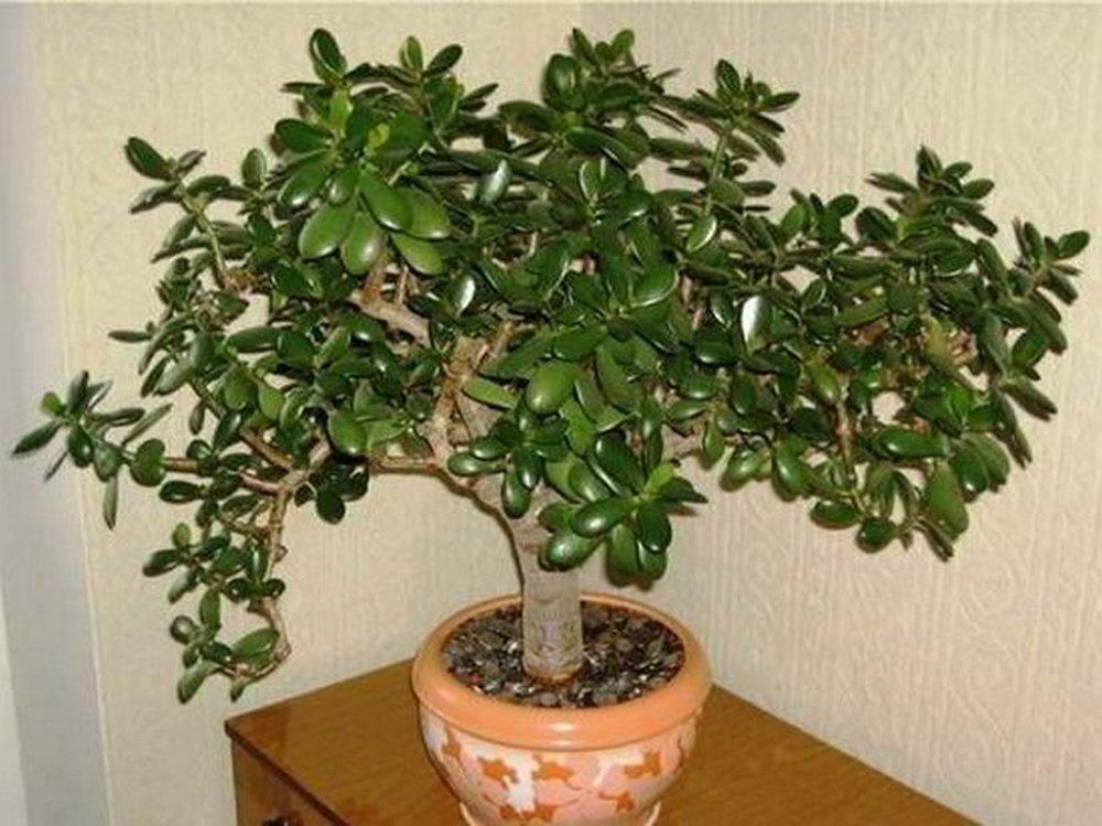 растение денежное дерево