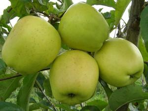Яблоня память есаулу: особенности сорта и ухода