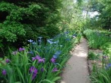 Цветок ирис – как правильно пересаживать и размножать, возможные болезни и вредители