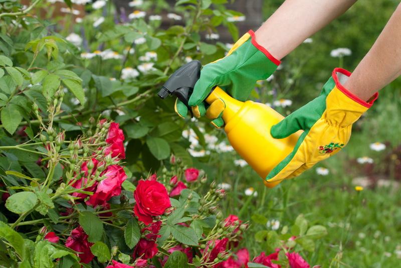 Чем обработать розы осенью перед укрытием на зиму – сад и огород своими руками