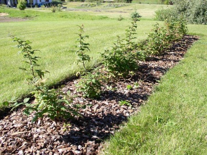 подготовка кустов малины к зиме осенью