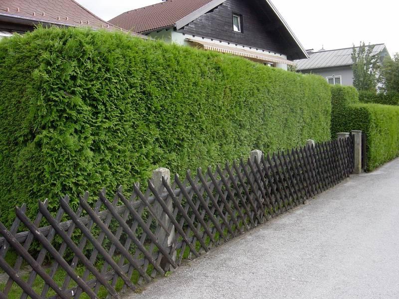 Живая изгородь на даче своими руками: какие растения выбрать?
