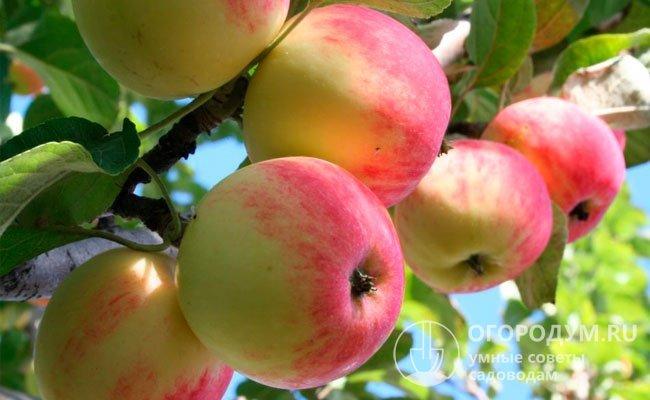 сорт красных сладких яблок