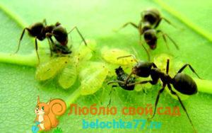 Вот методы, которые помогут вам вывести муравьев с огорода