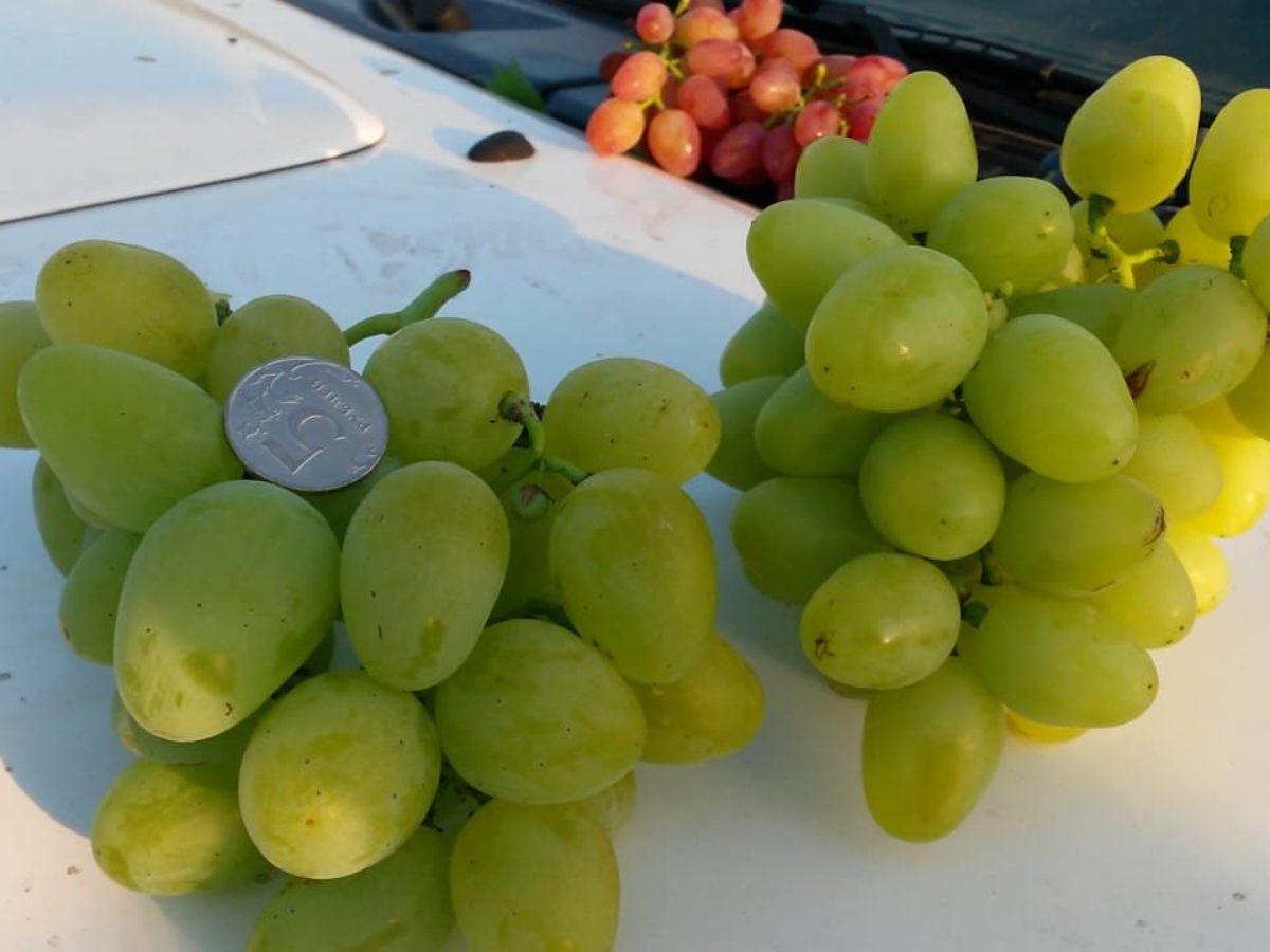 Подробное описание лучших сортов винограда, которые были выведены красохиной с.и.