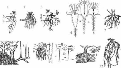строение кончика корня