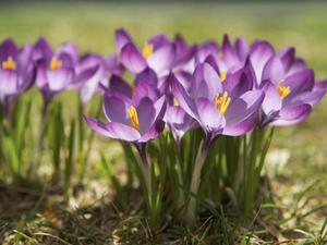 Многолетние луковичные цветы для сада: названия многолетников