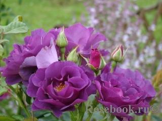 Описание розы из группы флорибунда сорта блю фо ю: условия выращивания и ухода