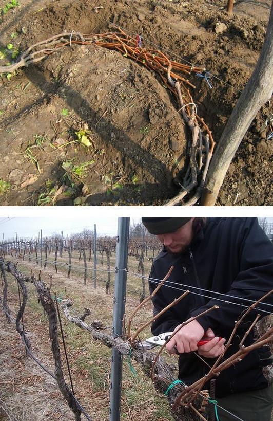 как утеплить виноград