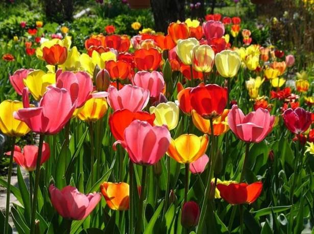 Клумба из тюльпанов