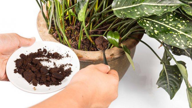 Кофейная гуща как удобрение: для каких растений и цветов на даче подходит спитый кофейный жмых